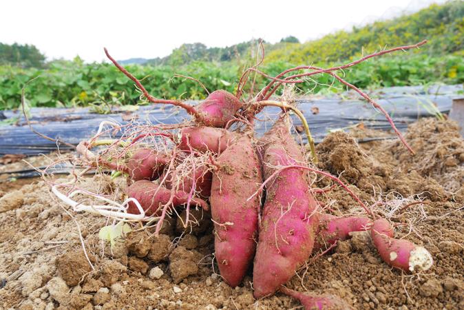 農業体験「いずみふれあい農の里」3