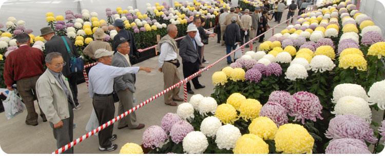 【今年も開催!日本最大級の菊花展~和泉市・国華園】